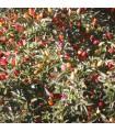 Pimiento Picante NuMex Twilight- semillas no tratadas