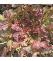 Lechuga Red Salad Bowl - semillas no tratadas