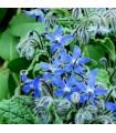 Borraja Officinalis - semillas no tratadas