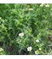 Manzanilla - semillas no tratadas