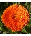 Caléndula Officinalis - semillas sin tratamiento