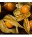 Physalis Peruviana Gold - semillas sin tratamiento