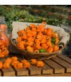 Pimiento Picante Habanero Naranja - semillas no tratadas