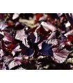 Shiso Rojo Perilla Frutescens - semillas no tratadas