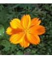 Cosmos naranja - semillas no tratadas