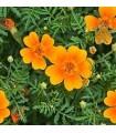 Tagete tenuifolia Tangerine Gem - semillas no tratadas