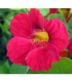 Capuchina Cherry Rose - semillas sin tratamiento