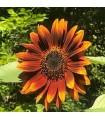 Girasol Velvet Queen-semillas no tratadas