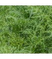 Mostaza asiática golden Frills - semillas no tratadas
