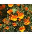 Eschscholtzia - Amapola de California (semillas no tratadas)