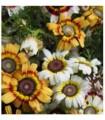 Crisantemo Merry Mixed - semillas no tratadas