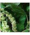 Amaranto caudatus Green - semillas no tratadas