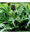 Alcachofa Violeta de Provenza (semillas no tratadas)