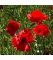 Amapola (Papaver rhoeas) -semillas sin tratamiento químico