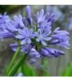 Agapanthus Umbellatus Blue - semillas no tratadas