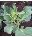 kailaan kichi (brocoli chino) - semillas no tratadas