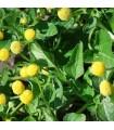 Flor eléctrica (spilanthes oleraceae) semillas sin tratamiento