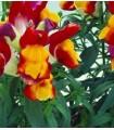 boca de dragón floral showers red yellow - semillas sin tratamiento