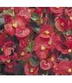 Begonia semp. super olympia red