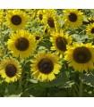 Girasol Sunspot -semillas no tratadas