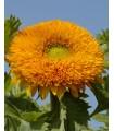 Girasol Orange Sun -  semillas no tratadas