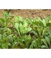 kangkong  - espinaca de agua- semillas no tratadas